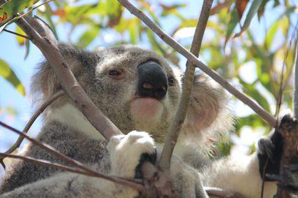 magnetic_island_koala