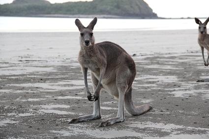 wildlife_kaenguru